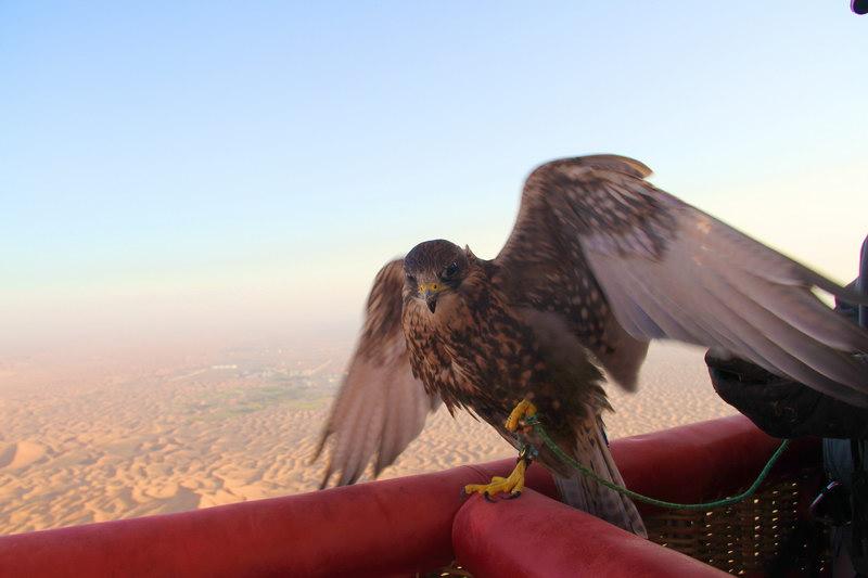 O falcão é o animal de maior importância nos Emirados Árabes.