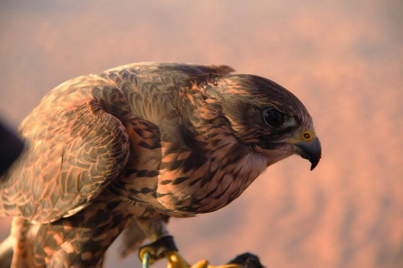 A beleza do falcão.