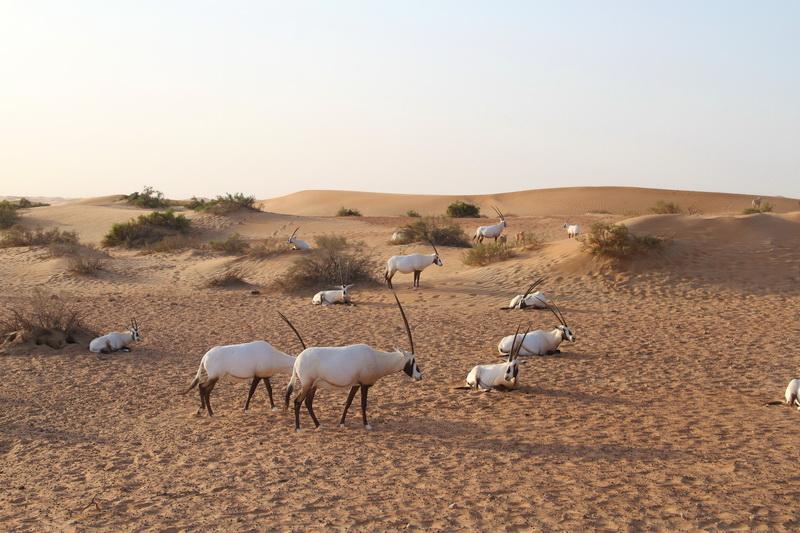 Antílopes no deserto de Dubai
