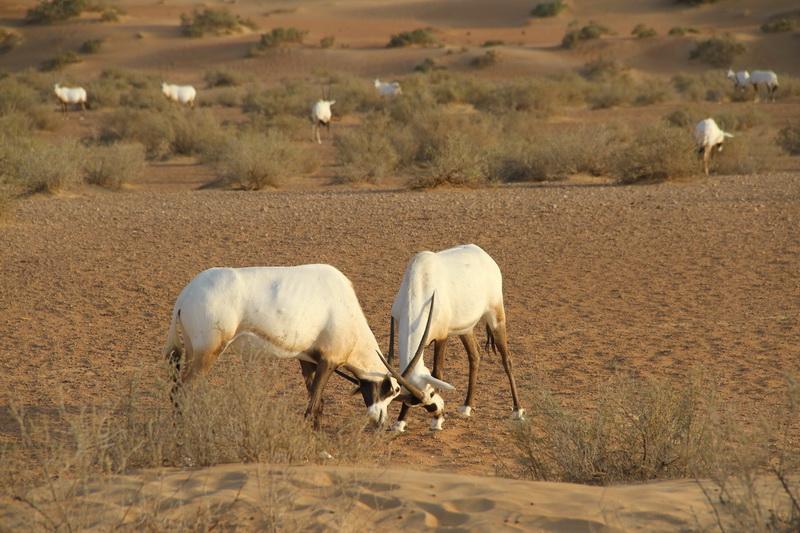 Antílopes no deserto dos Emirados Árabes