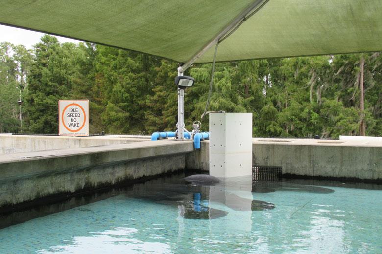 Os peixes-boi resgatados ficam em uma área especial até poderem voltar à natureza.