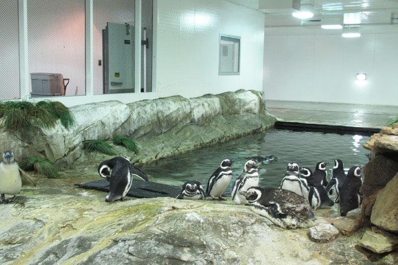 Sem o cativeiro, os simpáticos pinguins sul-americanos não teriam onde viver após tantas destruições humanas.