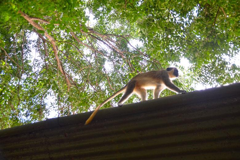 Os macacos-verdes são os principais animais da Reserva e razão pela qual ela foi criada.