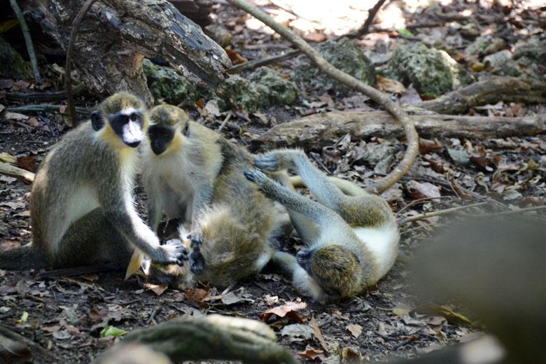 É possível flagrar famílias inteiras de macacos.