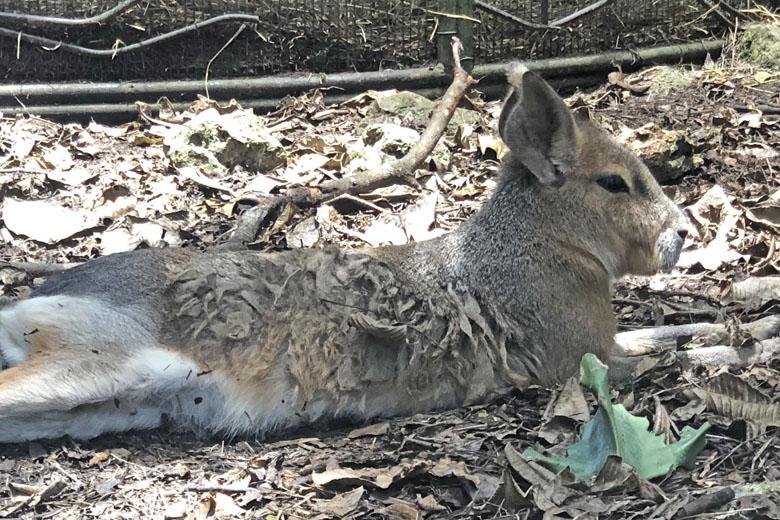 Esse animal se chama Mara, parece um coelho, mas é primo do porquinho-da índia.