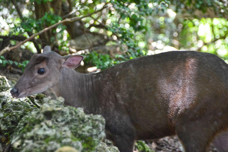 Esse é conhecido como Brocket Deer ou veado de brocas em tradução livre.