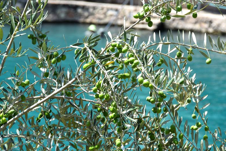As piscinas são cercadas de oliveiras.